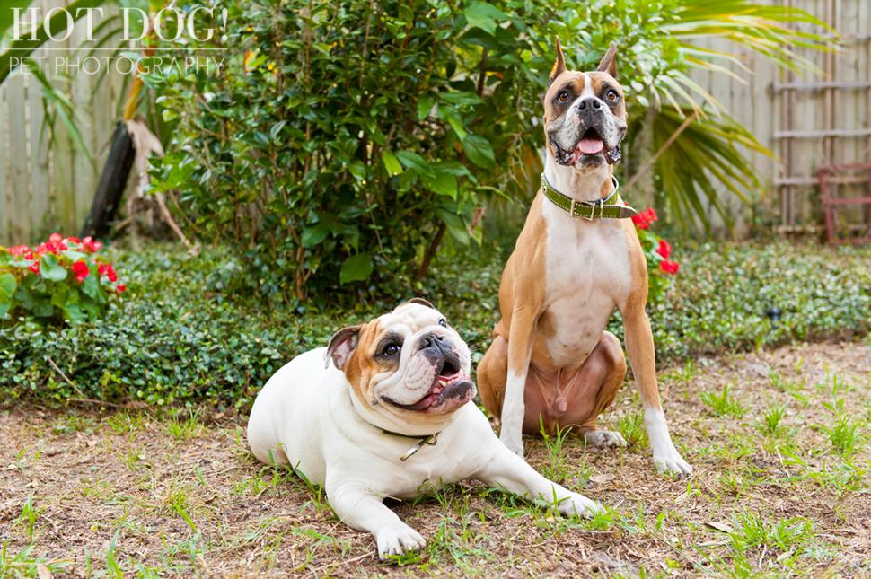 Brutus the Boxer and Csonka the Bulldog   Orlando Pet Photography