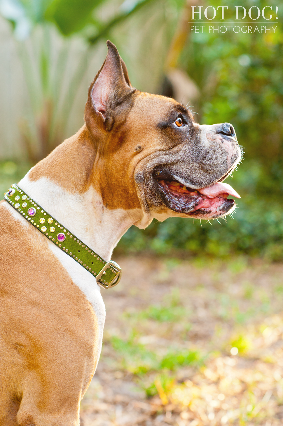 Brutus the Boxer and Csonka the Bulldog | Orlando Pet Photography