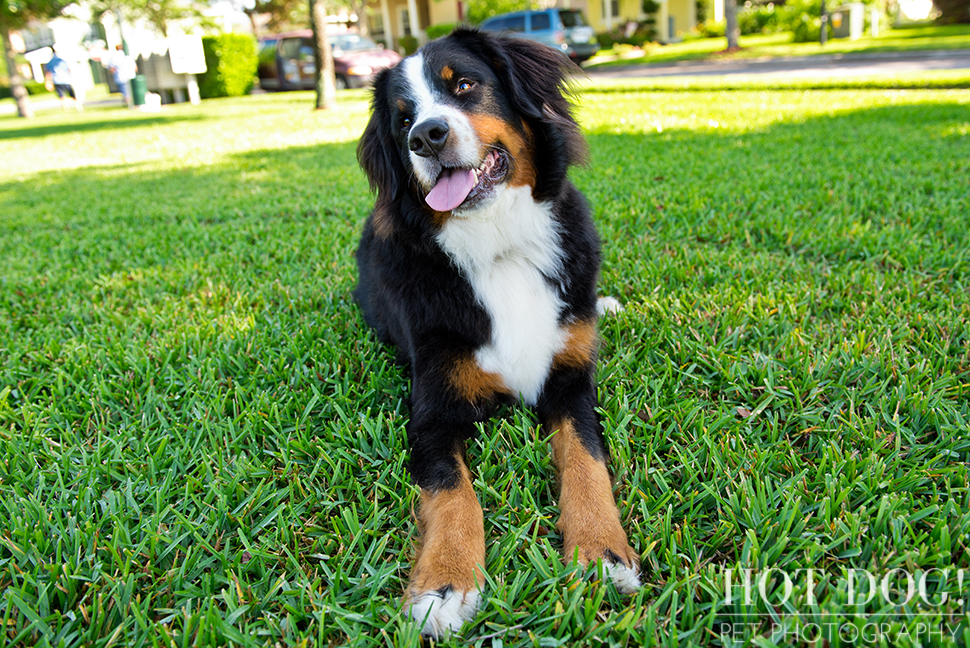 Fuji, Hauk and Kili the Bernese Mountain Dogs | Orlando Pet Photography