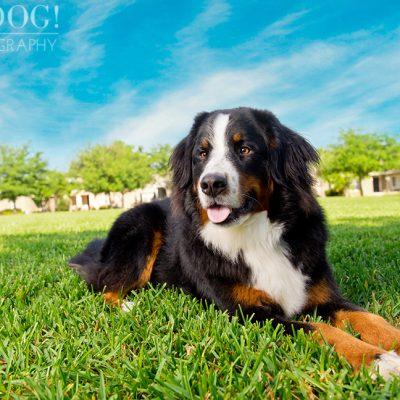 Fuji, Hauk and Kili the Bernese Mountain Dogs | Orlando Pet Photography