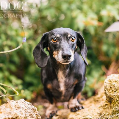 The Willoughby Dachshunds | Mt. Dora Pet Photography