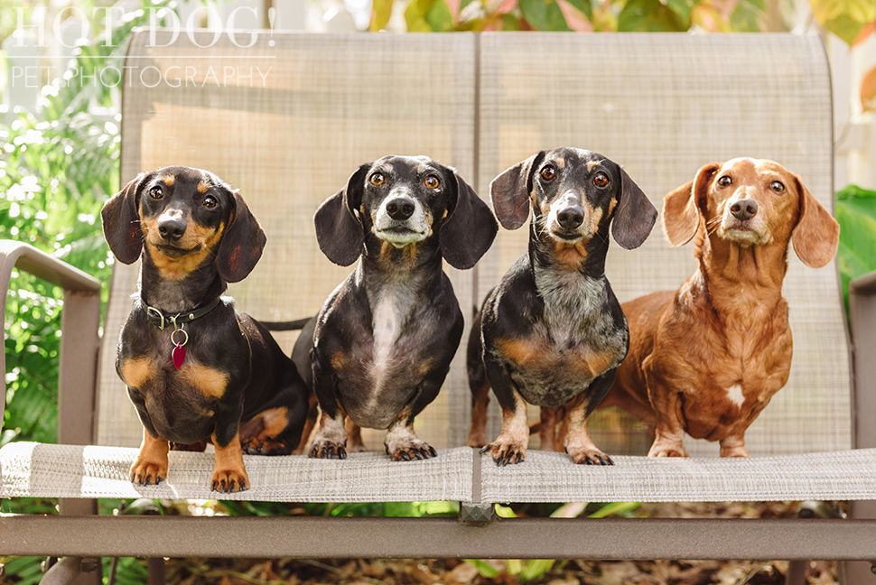 The Willoughby Dachshunds | Mt. Dora Pet Photography by Hot Dog! Pet Photography | Tom and Erika Pitera