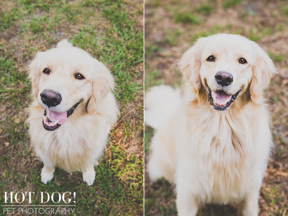 Maggie the Golden Retriever | Orlando Pet Photography
