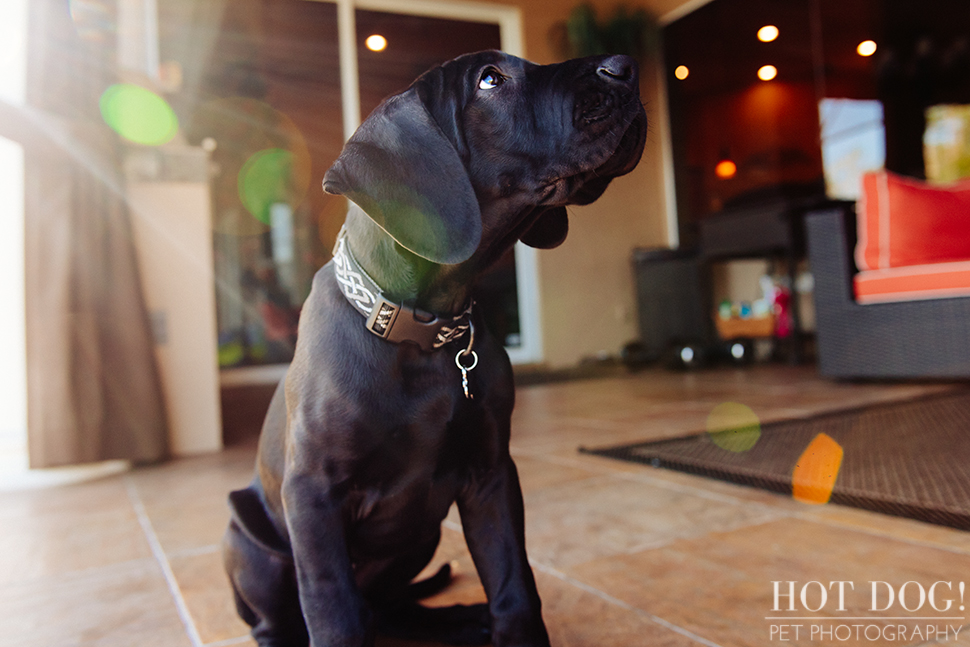 Mako the Great Dane Puppy | Orlando Pet Photography