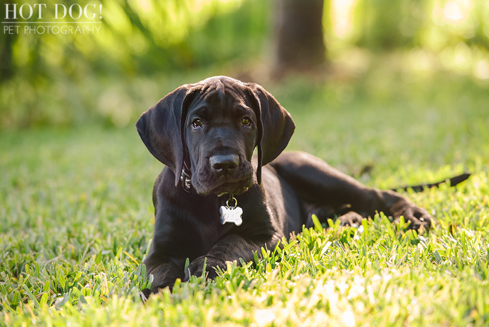 Mako the Great Dane Puppy   Orlando Pet Photography