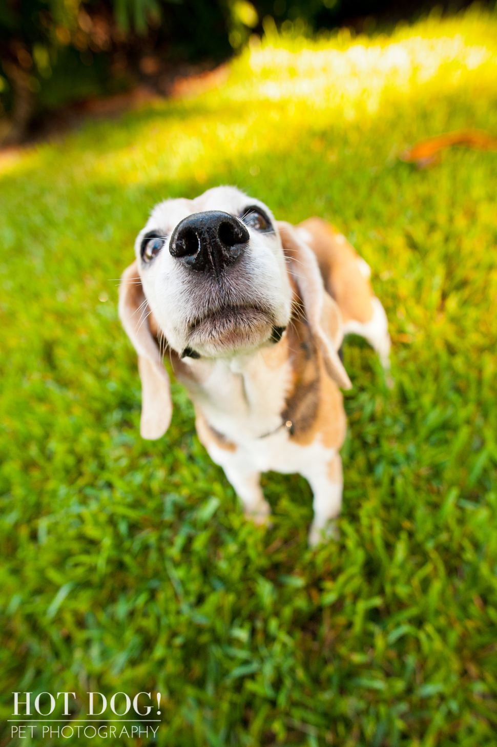 Megan the Beagle | Orlando Pet Photography