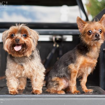 Peanut & Mim the Yorkies | Longwood Pet Photography