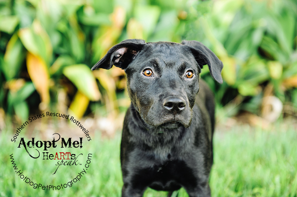 Dakota the Rottweiler / Lab Mix | Southern States Rescued Rottweilers
