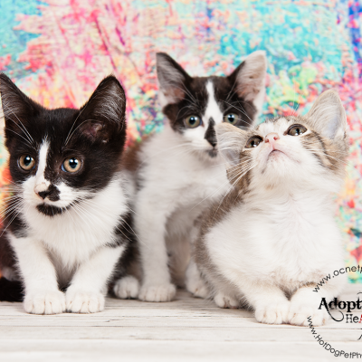 Certified Pre-Owned Cats | Adoptable Cats in Orlando