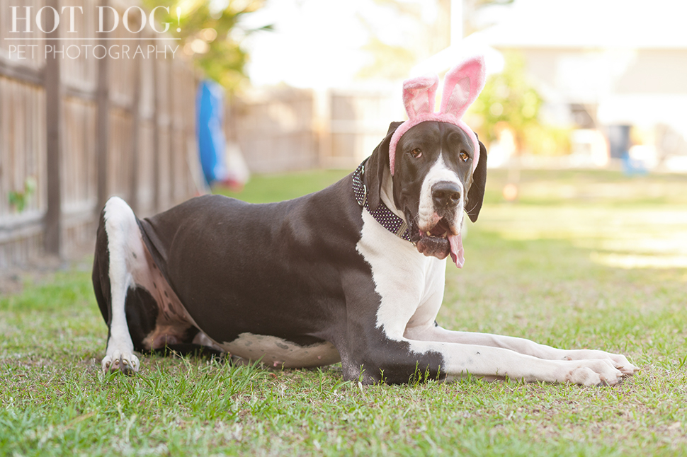 Great Dane Love - A Central Florida Rescue, Inc.