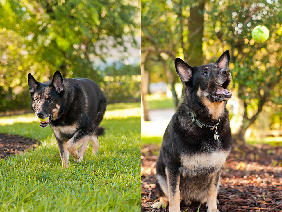 Brewster the German Shepherd | Altamonte Springs Pet Photography