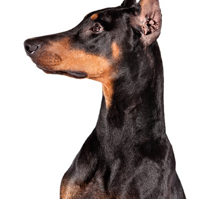 Dog of the Day | Doberman Pinscher