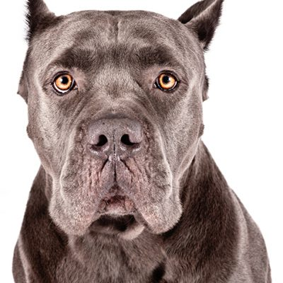 Dog of the Day | Cane Corso