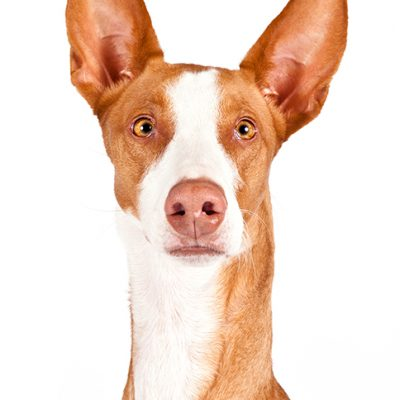 Dog of the Day | Ibizan Hound