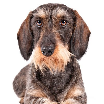Dog of the Day | Wirehaired Dachshund