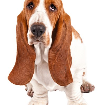 Dog of the Day | Basset Hound