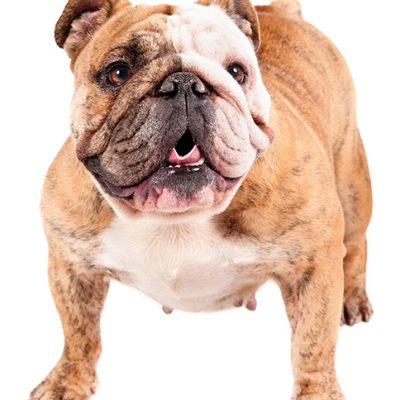 Dog of the Day | Bulldog