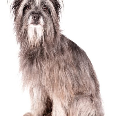Dog of the Day | Pyrenean Shepherd