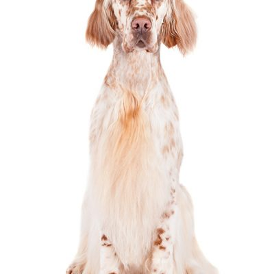 Dog of the Day | English Setter