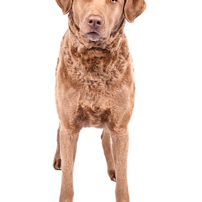 Dog of the Day | Chesapeake Bay Retriever