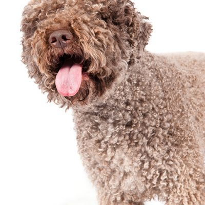 Dog of the Day | Lagotto Romagnolo