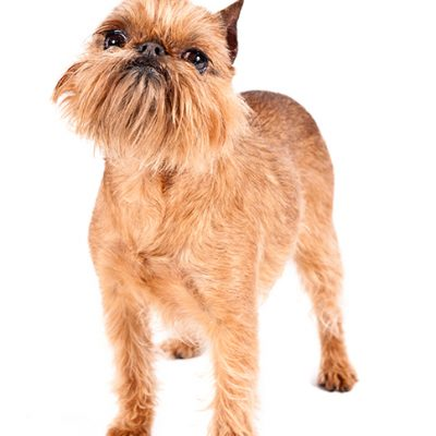 Dog of the Day | Brussels Griffon