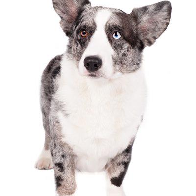 Dog of the Day | Cardigan Welsh Corgi