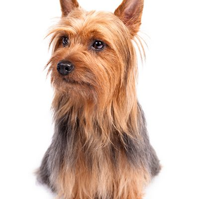 Dog of the Day | Silky Terrier