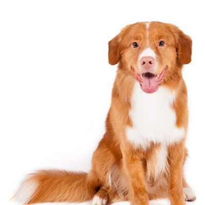 Dog of the Day | Nova Scotia Duck Tolling Retriever