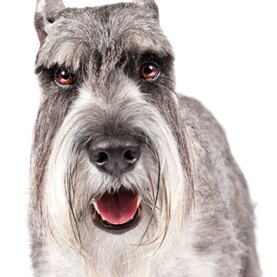 Dog of the Day | Standard Schnauzer
