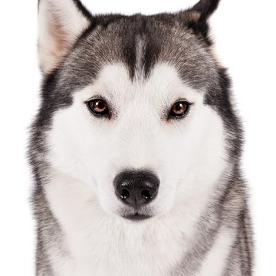 Dog of the Day | Siberian Husky