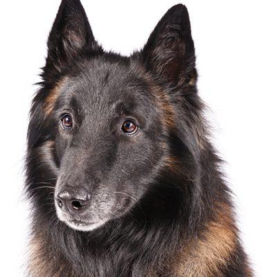 Dog of the Day | Belgian Tervuren