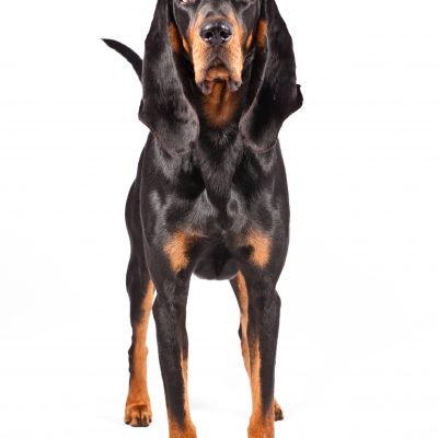Dog of the Day | Black and Tan Coonhound