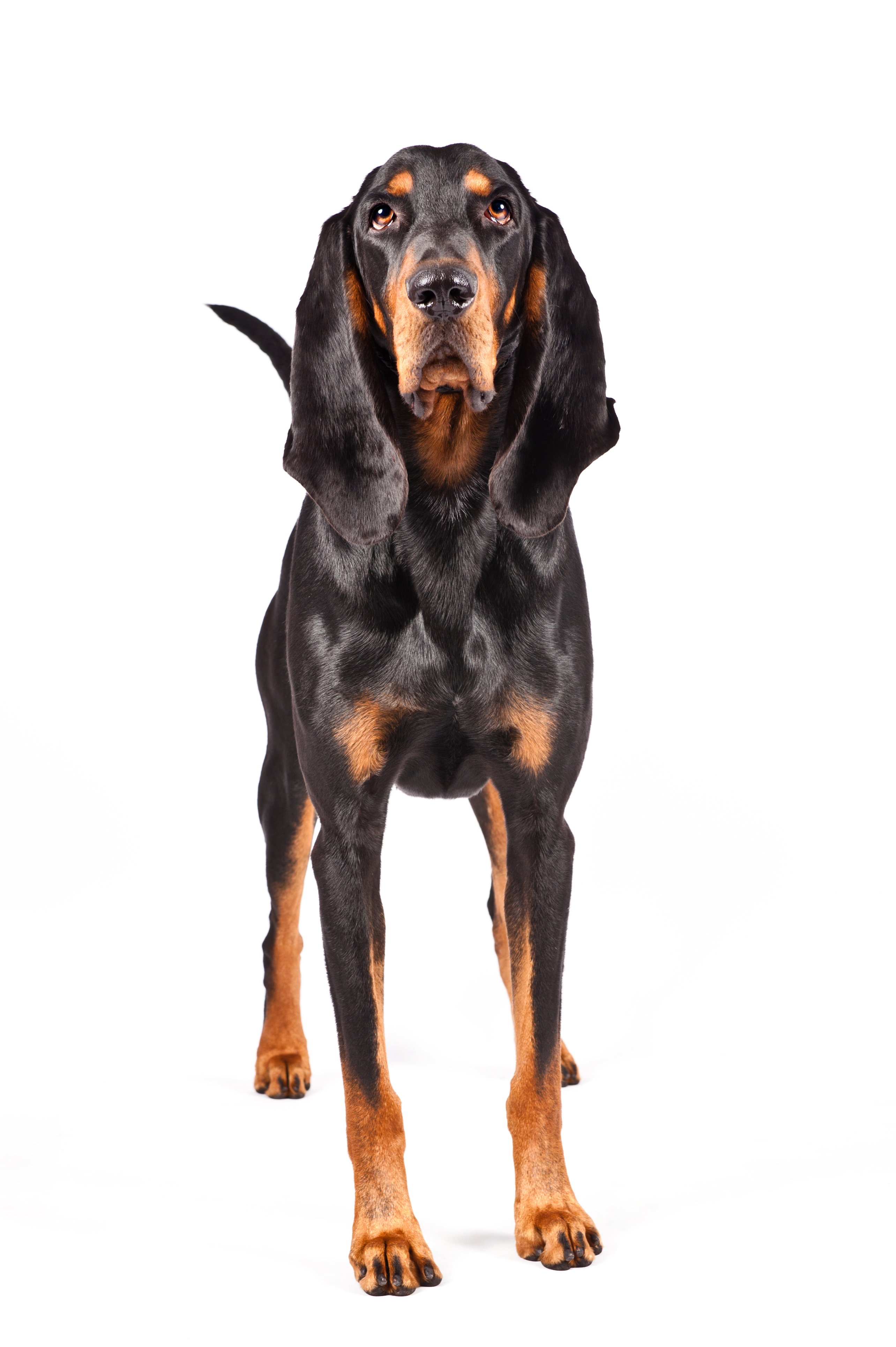 Dog of the Day | Black and Tan Coonhound » Hot Dog! Pet ...