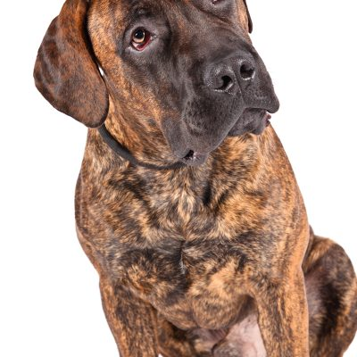 Dog of the Day | Boerboel