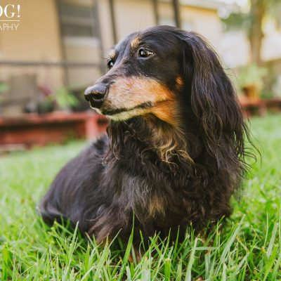 Dexter the Dachshund | Altamonte Springs Pet Photography