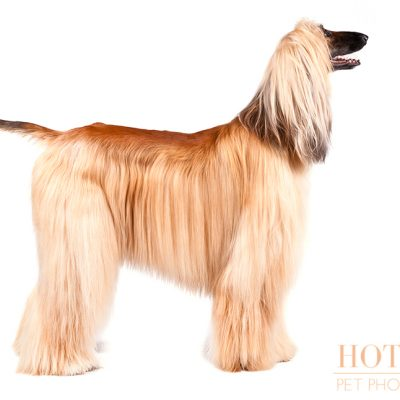 Dog of the Day | Afghan Hound