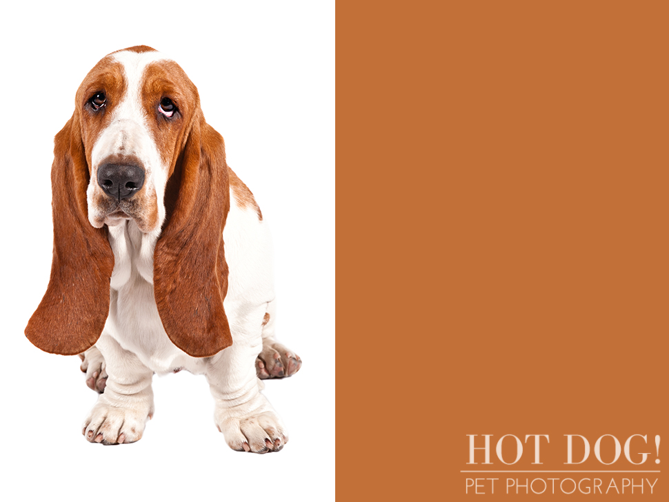 dog-of-the-day-basset-hound