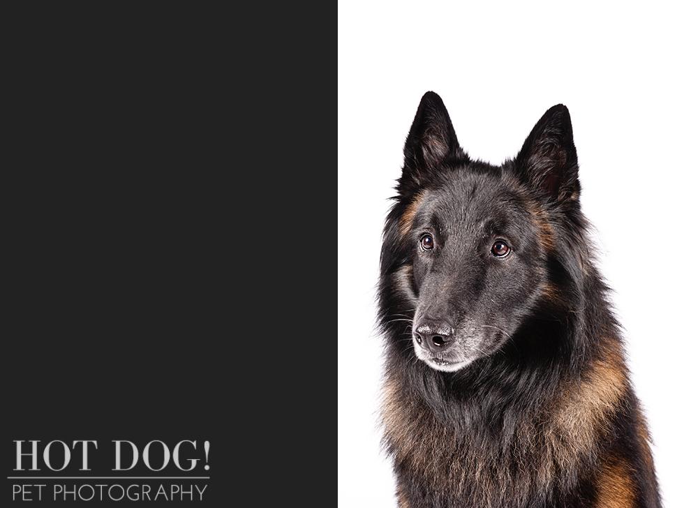 dog-of-the-day-belgian-tervuren