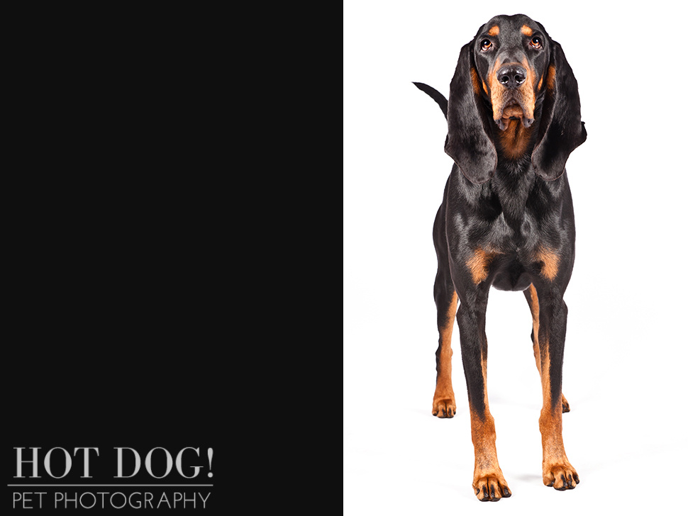 dog-of-the-day-black-tan-coonhound