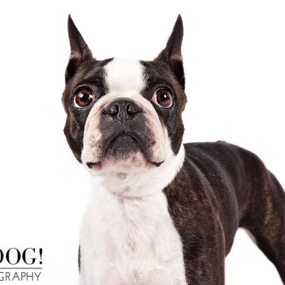 Dog of the Day | Boston Terrier