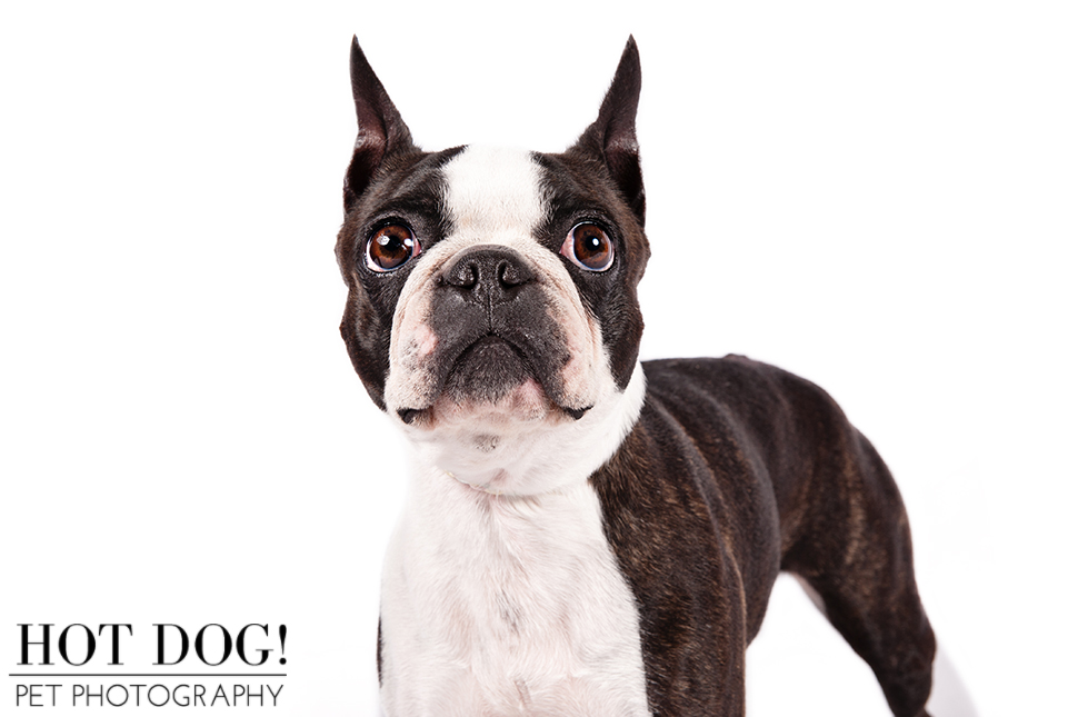 dog-of-the-day-boston-terrier