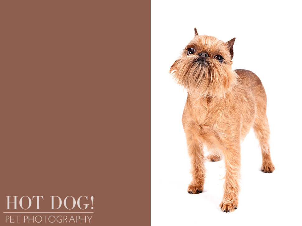 dog-of-the-day-brussels-griffon