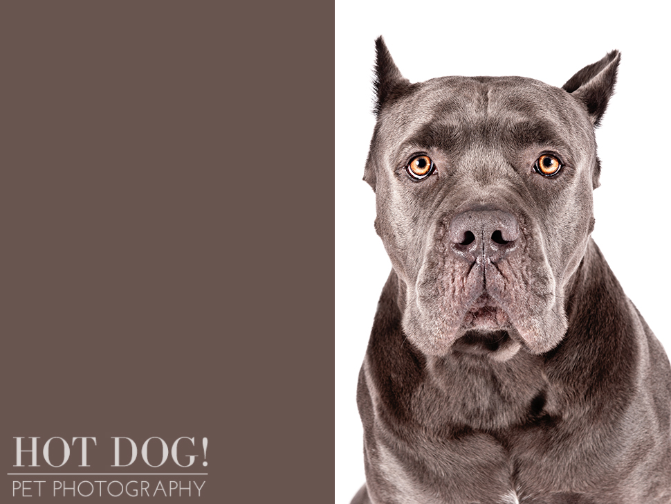 dog-of-the-day-cane-corso