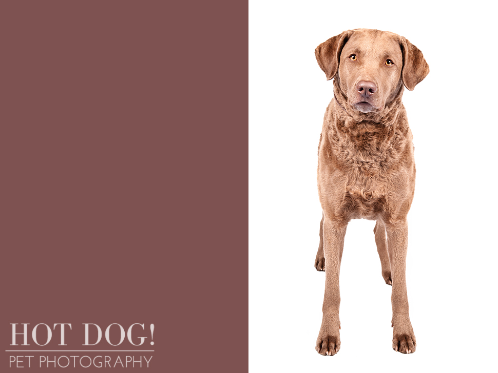 dog-of-the-day-chesapeake-bay-retriever