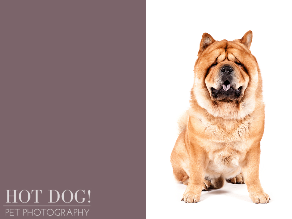 dog-of-the-day-chow-chow