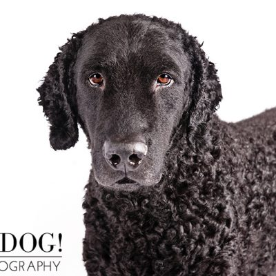 Dog of the Day | Curly-Coated Retriever