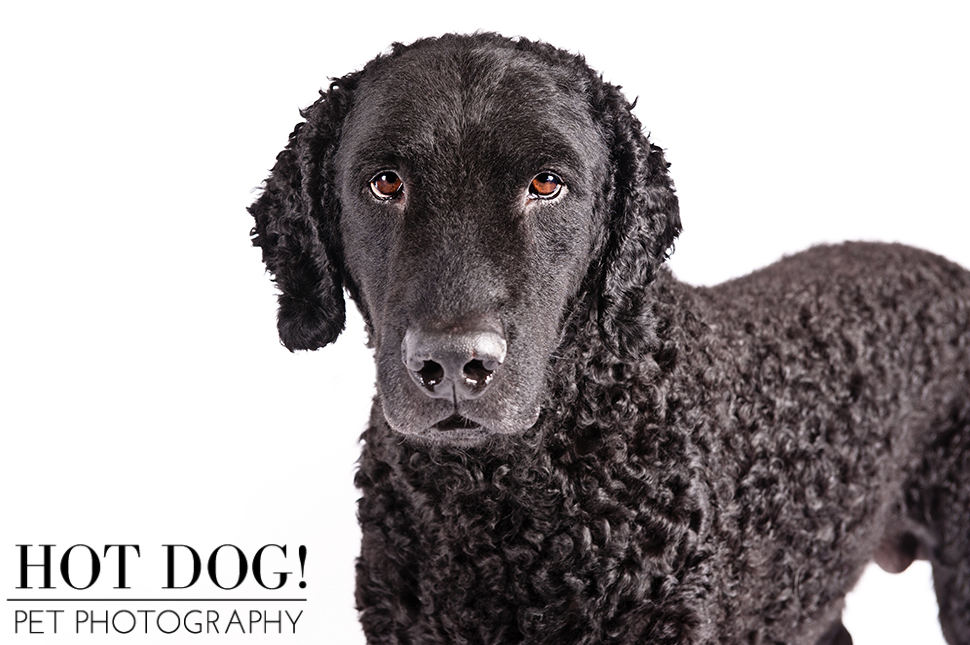 dog-of-the-day-curly-coated-retriever