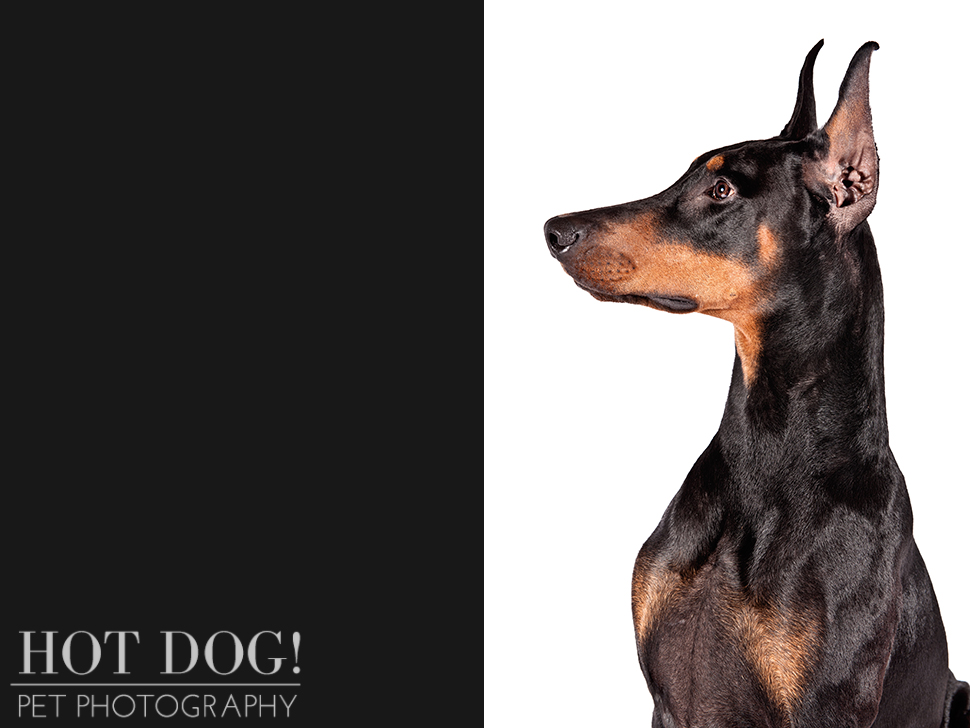 dog-of-the-day-doberman