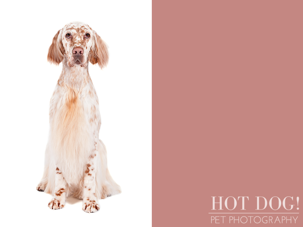 dog-of-the-day-english-setter